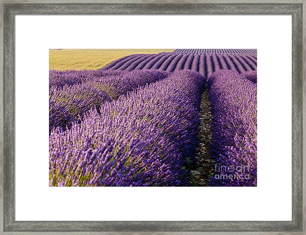 Framed Print featuring the photograph Fields Of Lavender by Brian Jannsen