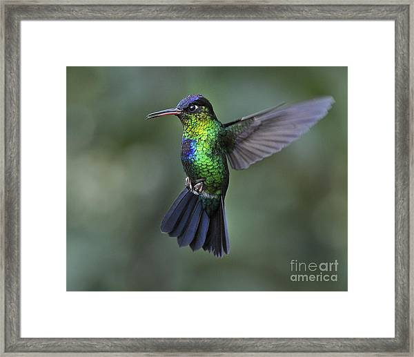 Fiery-throated Hummingbird..  Framed Print