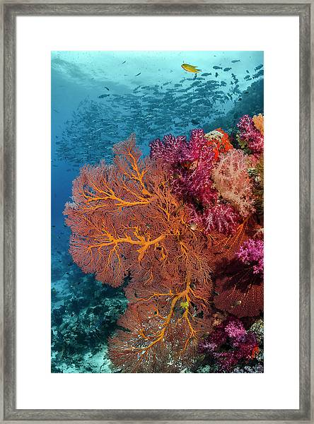 Fiji Fish And Coral Reef Framed Print by Jaynes Gallery