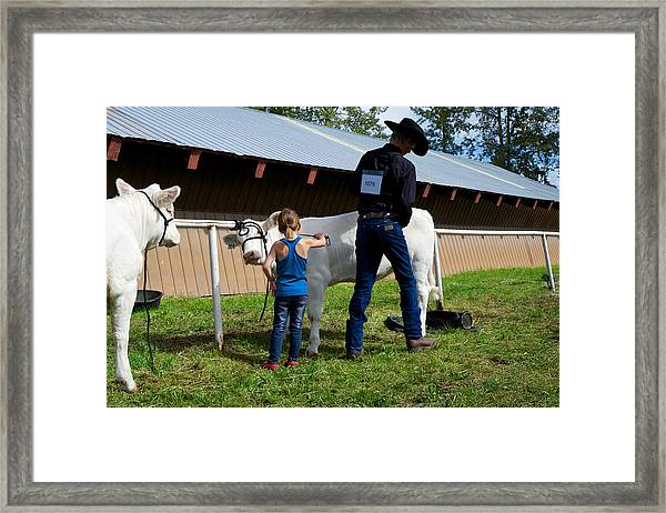 Final Touches On The Charolais Heifer  Framed Print