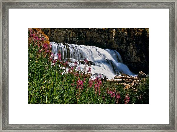 Fireweed Blooms Along The Banks Of Granite Creek Wyoming Framed Print