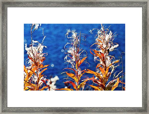 Fireweed Flower Framed Print