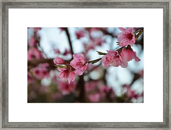 First Spring Blossoms Framed Print