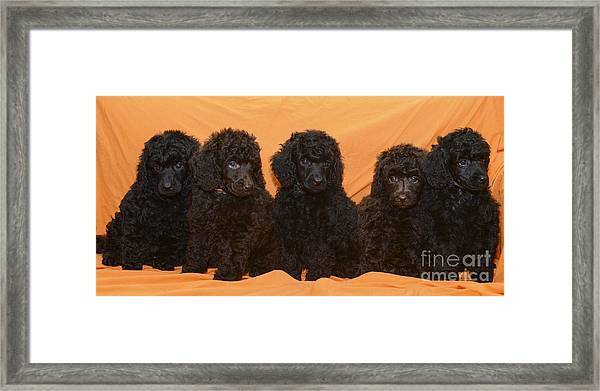 Five Poodle Puppies  Framed Print
