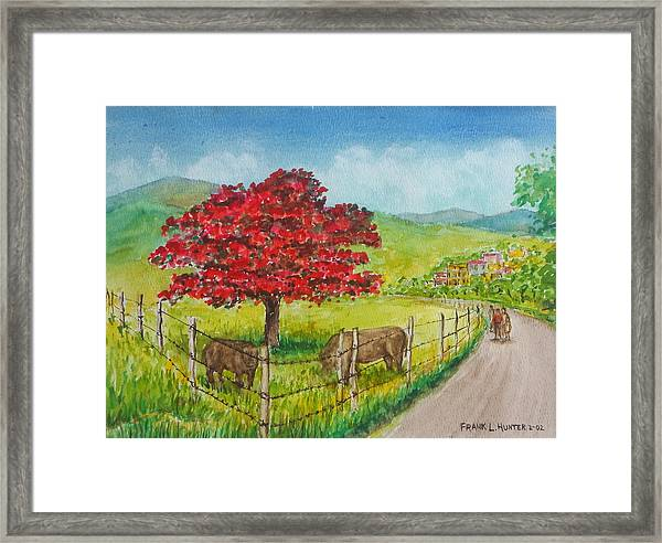 Flamboyan And Cows In Western Puerto Rico Framed Print