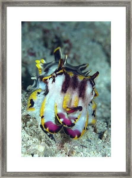 Flamboyant Cuttlefish Framed Print by Scubazoo/science Photo Library
