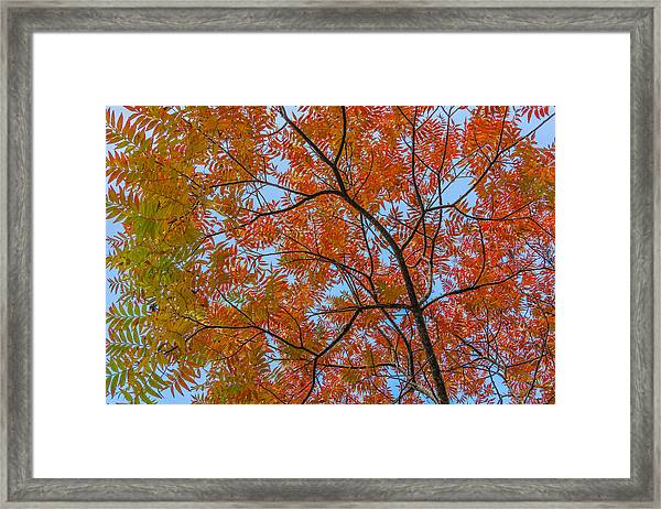 Flameleaf Sumac Mostly Changed From Green To Red Framed Print