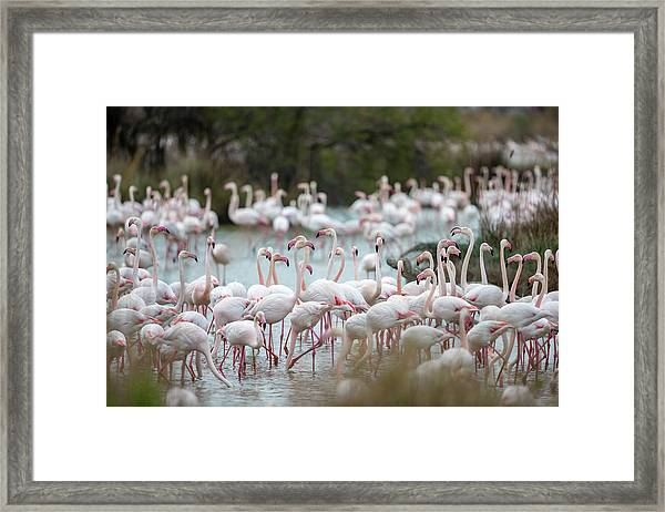 Flamingoes In Swamp Framed Print by Raffi Maghdessian
