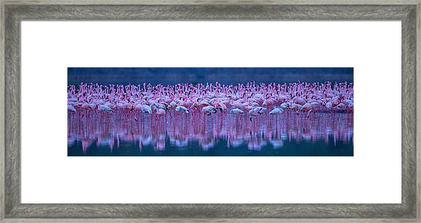 Flamingos Framed Print by David Hua