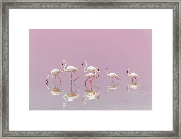 Flamingos Framed Print by Eiji Itoyama