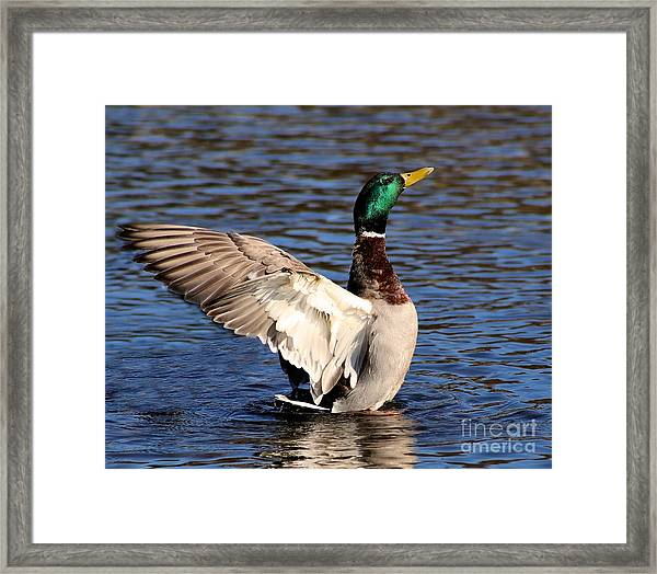 Flapping Male Mallard Duck Framed Print