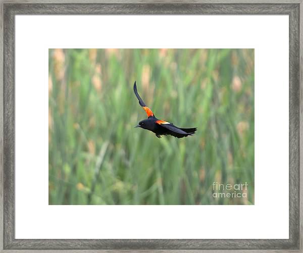 Flight Of The Blackbird Framed Print