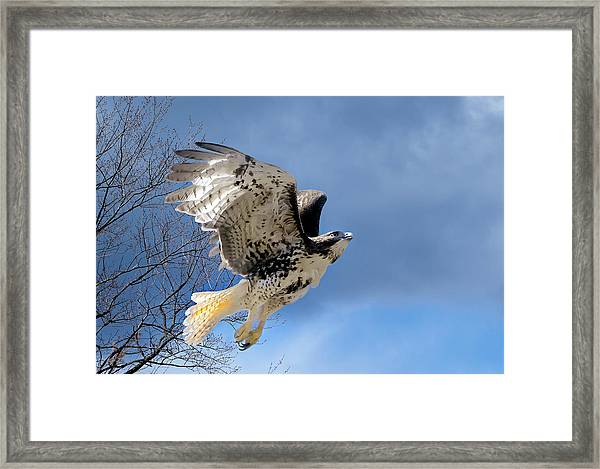 Flight Of The Red Tail Framed Print