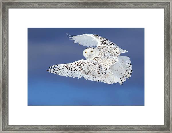 Flight Of The Snowy - Snowy Owl Framed Print