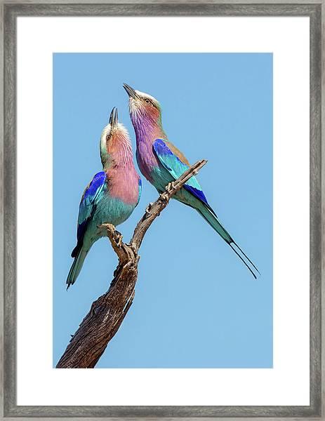 Flirting Rollers Framed Print by Alessandro Catta
