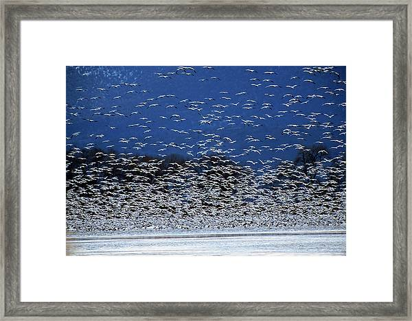Flock Of Rosss Geese, Chen Rossii Framed Print