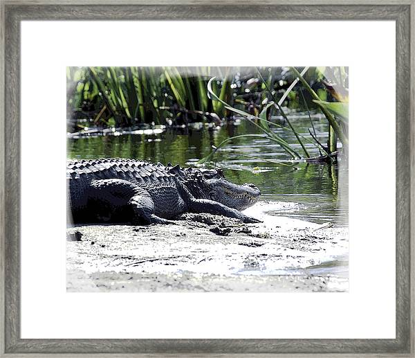 Framed Print featuring the photograph Florida Alligator On The Sand by William Havle