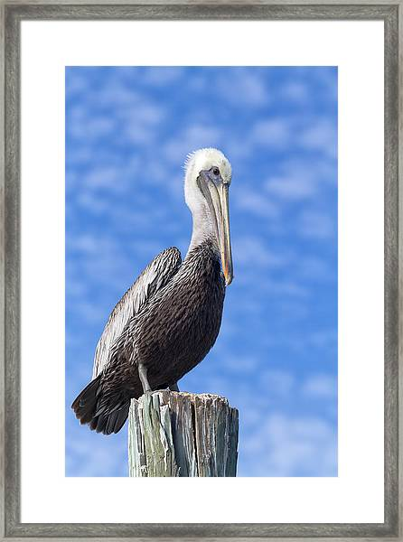 Florida Brown Pelican Framed Print
