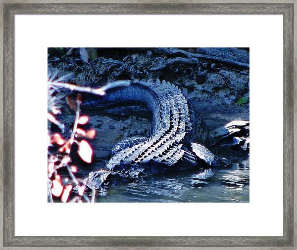 Florida 'gator Framed Print