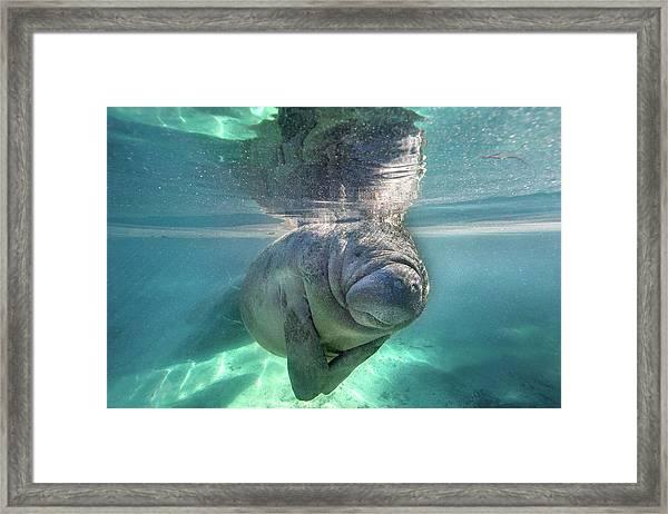 Florida Manatee Framed Print by Ai Angel Gentel