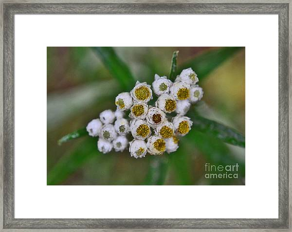 Framed Print featuring the photograph Flower Buttons by Mae Wertz