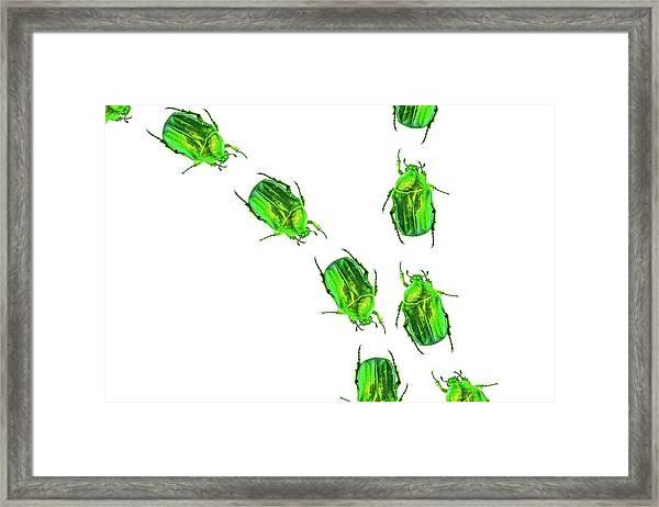 Flower Chafer Beetles Framed Print by Gombert, Sigrid
