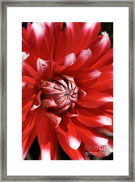 Flower- Dahlia-red-white Framed Print