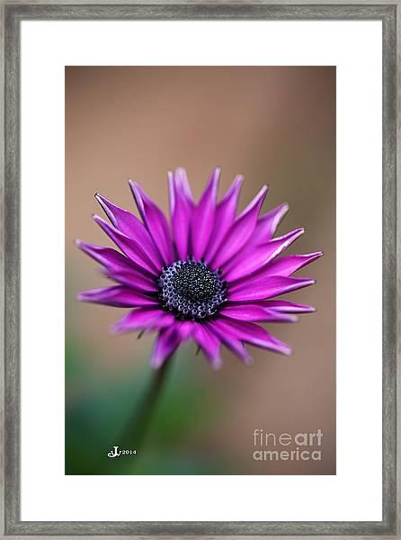 Flower-daisy-purple Framed Print