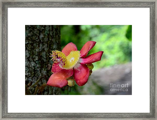 Flower Of Cannonball Tree Singapore Framed Print