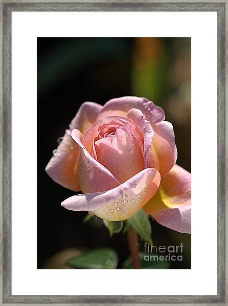Flower-pink And Yellow Rose-bud Framed Print