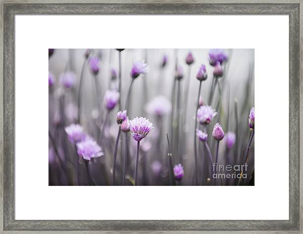 Flowering Chives IIi Framed Print