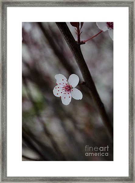 Flowering Plum 3 Framed Print