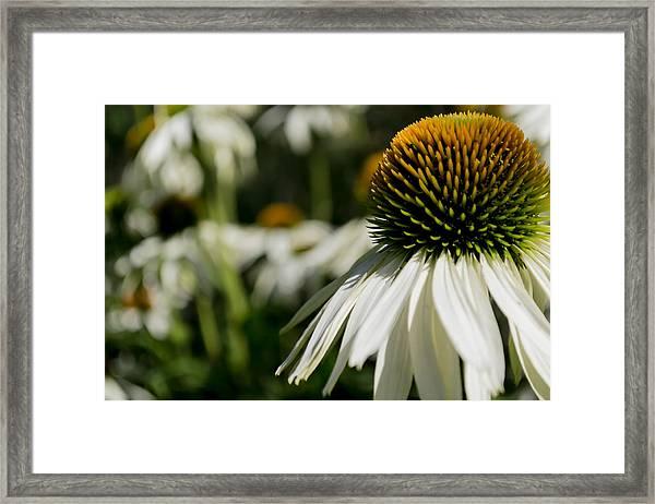 Flowers - Echinacea White Swan Framed Print