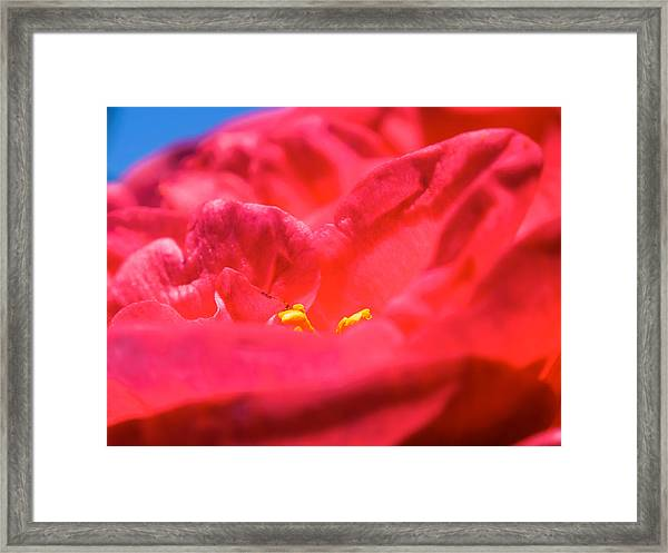 Flowers Of Camellia Framed Print