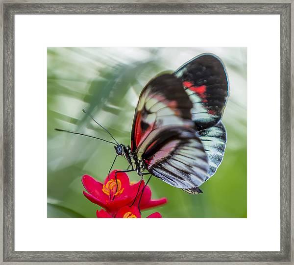 Fluttering Piano Key Butterfly Framed Print