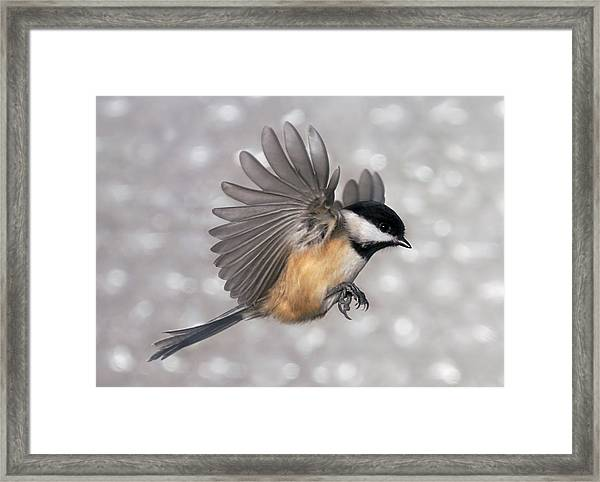 Flying Chickadee Framed Print