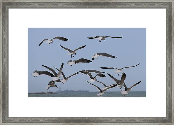 Flying Gulls  Framed Print