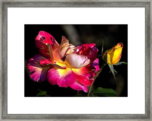 Flying Rose Framed Print