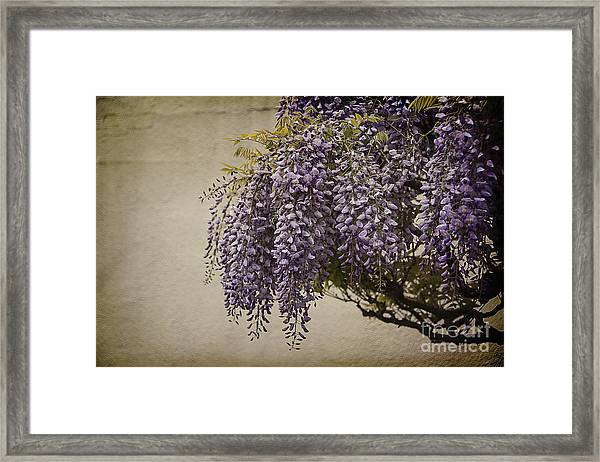 Focus On Wisteria Framed Print
