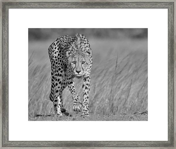 Focused Predator Framed Print
