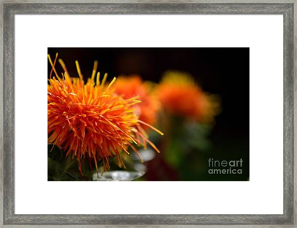 Framed Print featuring the photograph Focused Safflower by Scott Lyons