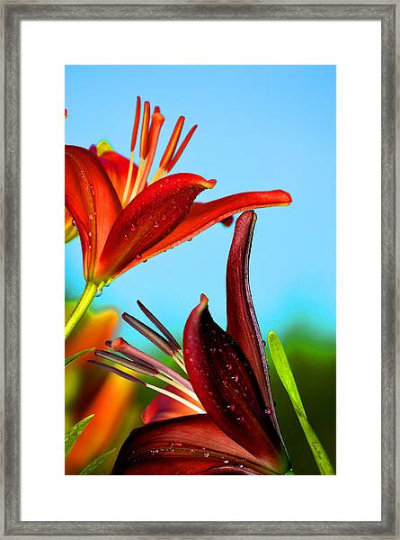 For The Love Of Lillies Framed Print