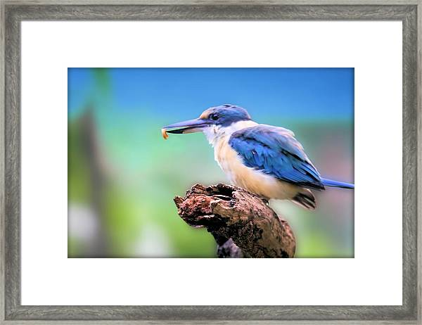 Forest Kingfisher With Breakfast Framed Print