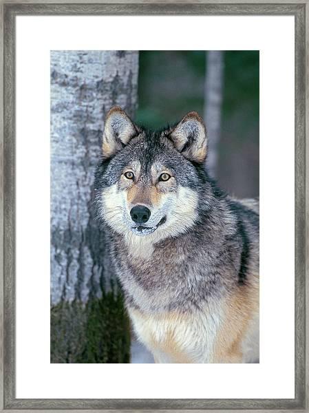 Forest Wolf Framed Print