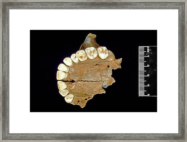Fossil Human Upper Jaw Framed Print by Natural History Museum, London/science Photo Library