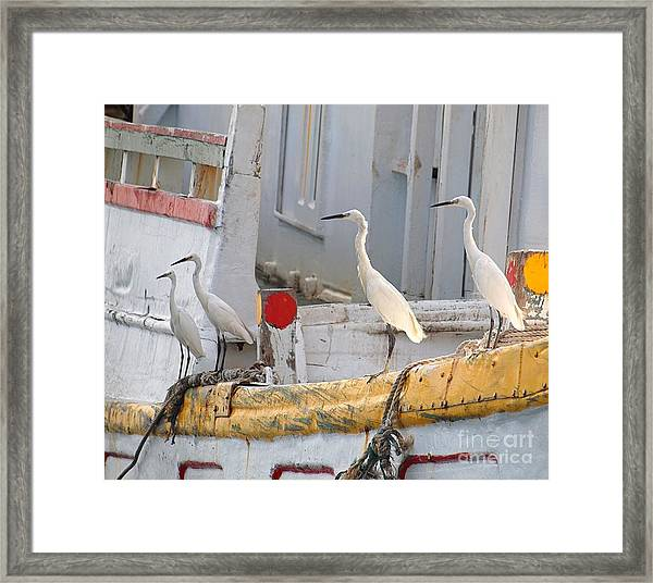 Four Egrets Watch For Fish Framed Print