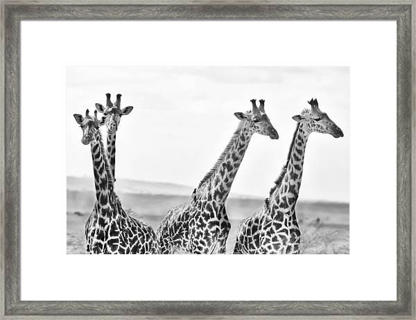 Four Giraffes Framed Print
