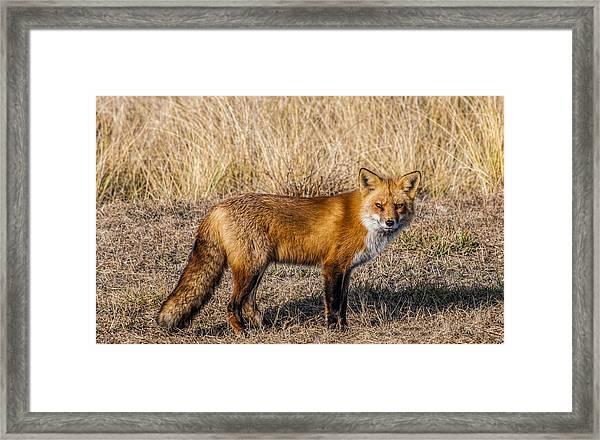 Fox 7282 Framed Print