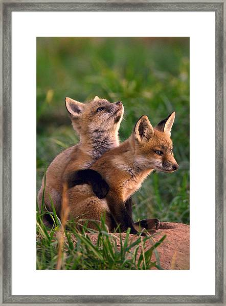 Framed Print featuring the photograph Fox Cub Buddies by William Jobes