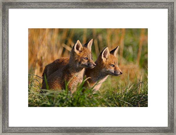 Framed Print featuring the photograph Fox Cubs At Sunrise by William Jobes